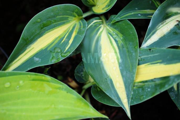 Funkia 'Party Popper' Hosta