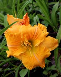 Liliowiec 'Empire Returns' Hemerocallis