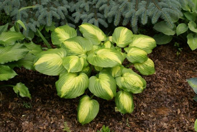 Funkia 'Cathedral Windows' Hosta