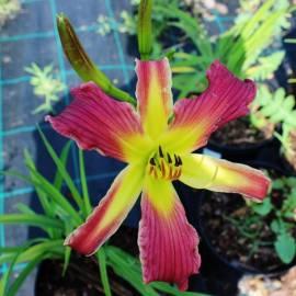 Liliowiec 'Raspberry Star' Hemerocallis