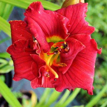 Liliowiec 'Ruby Corsage' Hemerocallis