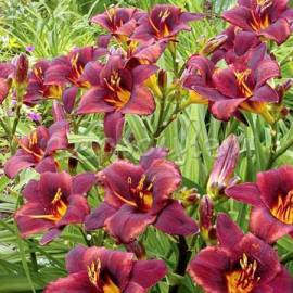 Liliowiec 'Chocolate Candy' Hemerocallis