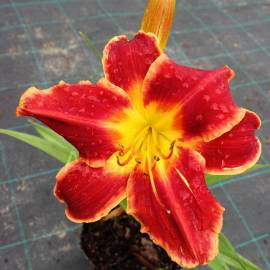 Liliowiec 'Betty Winkler' Hemerocallis