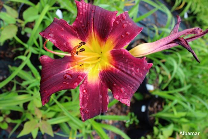 Liliowiec 'Blackberry Dragon' Hemerocallis