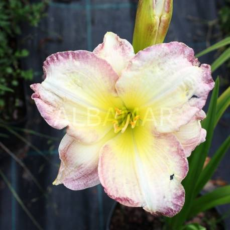 Liliowiec 'Seal Of Approval' Hemerocallis