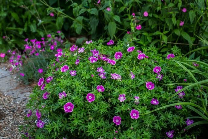 Bodziszek czerwony 'Elke' Geranium sanguineum