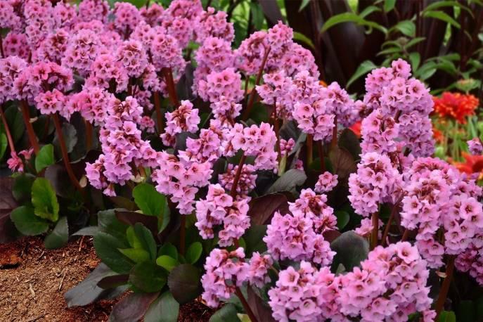 Bergenia sercolistna 'Spring Fling' Bergenia cordifolia