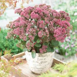 Rozchodnik karpacki 'Green Pink' SEDUCTION Sedum telephium