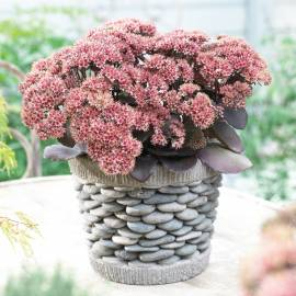 Rozchodnik karpacki 'Brown Red' SEDUCTION Sedum telephium