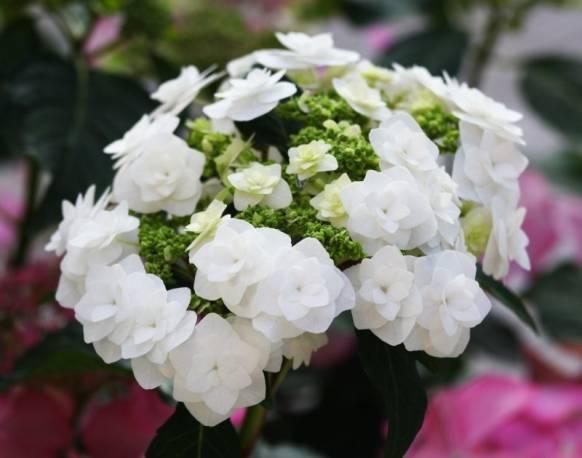 Hortensja ogrodowa 'Dancing Snow Bianco' Hydrangea macrophylla