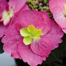 Hortensja ogrodowa 'Cotton Candy' Hydrangea macrophylla