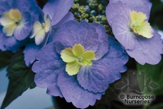Hortensja ogrodowa 'Blueberry Cheesecake' Hydrangea macrophylla