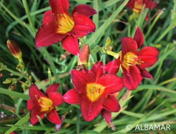 Liliowiec 'Ruby Stella' Hemerocallis