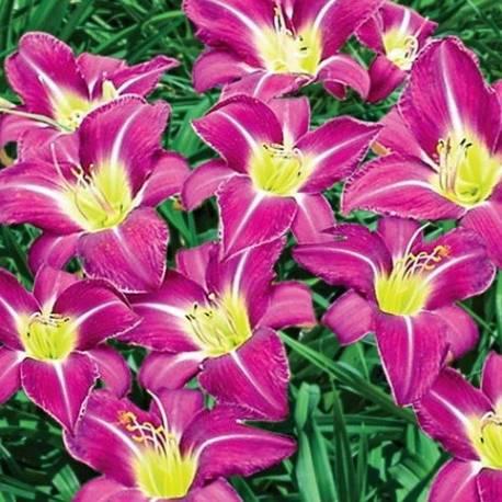 Liliowiec 'Lavender Deal'
