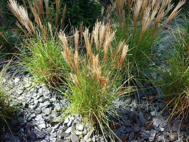 Miskant chiński 'Silberspinne' Miscanthus sinensis