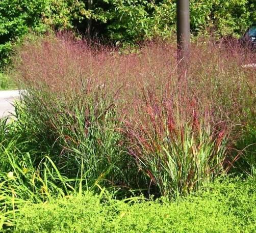 Proso rózgowate 'Shenandoah' Panicum virgatum