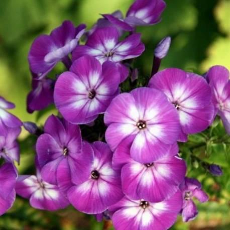 Floks wiechowaty 'Purple Eye' Phlox paniculata