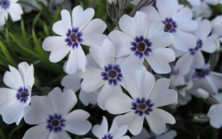 Floks szydlasty 'Emerald Cushion Blue' Phlox subulata