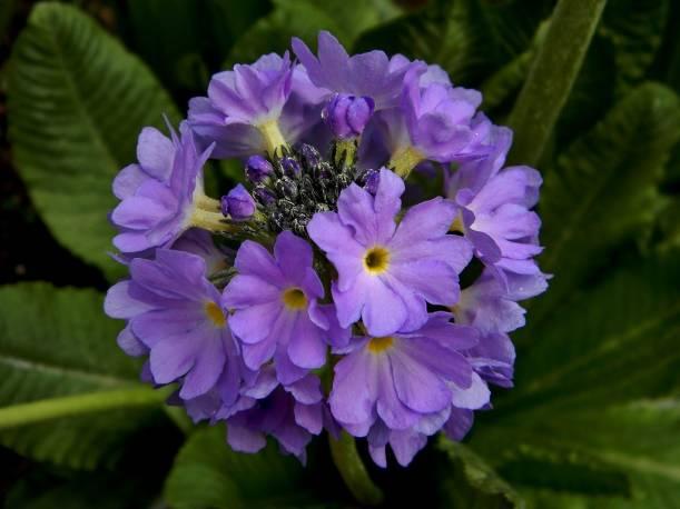 Pierwiosnek ząbkowany 'Blue Auslese' Primula denticulata