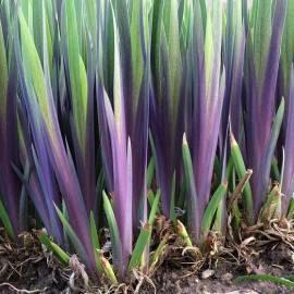 Kosaciec różnobarwny 'Gerald Darby' Iris versicolor