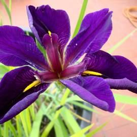 Kosaciec luizjański 'Black Gamecock' Iris louisiana