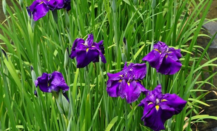 Kosaciec mieczolistny 'Purple Parasol' Iris enseta