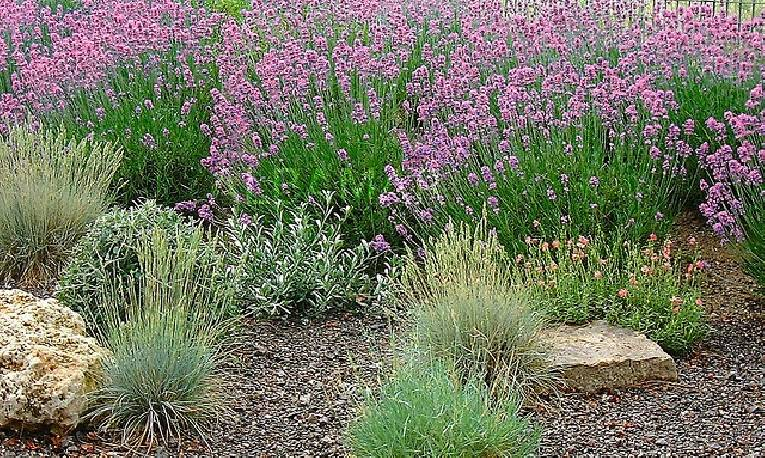 Lawenda 'Munstead Purple' Lavandula