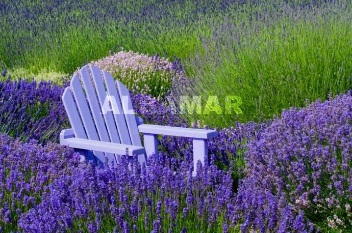 Lawenda 'Munstead Purple' Lavandula