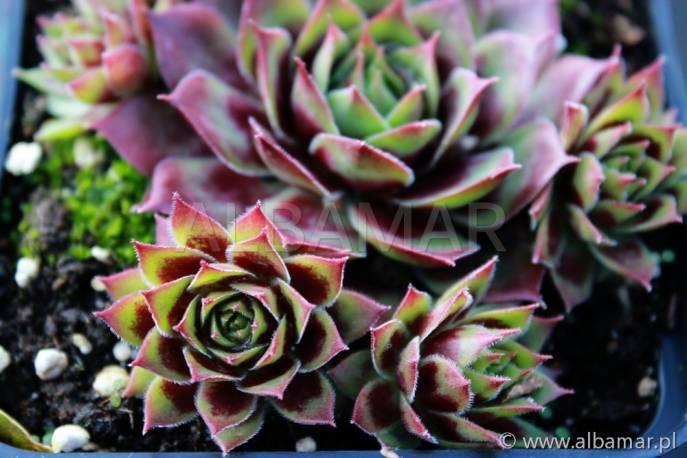 Rojnik 'Hayling' Sempervivum hybridum