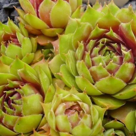 Rojnik 'Samoa' Sempervivum hybridum