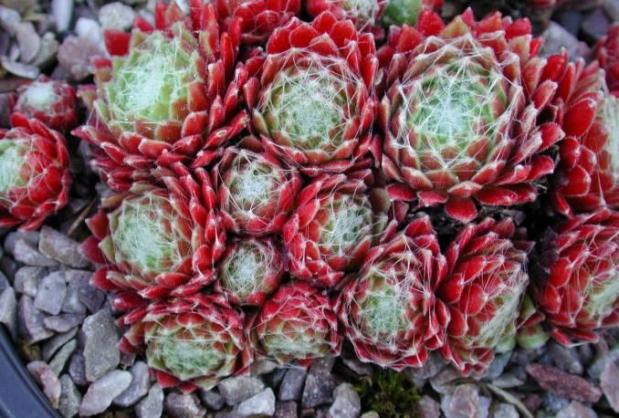 Rojnik 'Adelaar' Sempervivum hybridum