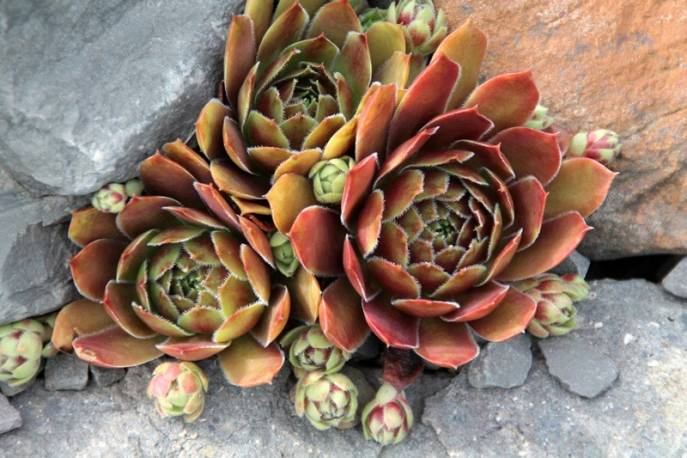 Rojnik 'Samadhi' Sempervivum hybridum
