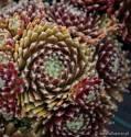 Rojnik pajęczynowaty ' Sprite' Sempervivum arachnoideum