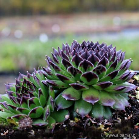 Rojnik 'Black Top' Sempervivum hybridum