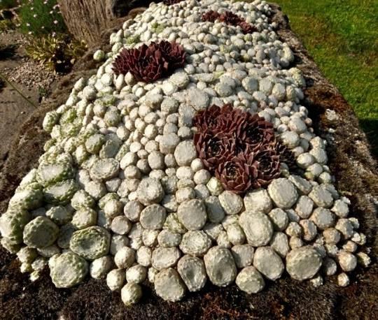 Rojnik pajęcznowaty 'Tomentosum' Sempervivum arachnoideum