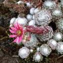 Rojnik pajęcznowaty 'Minus' Sempervivum arachnoideum