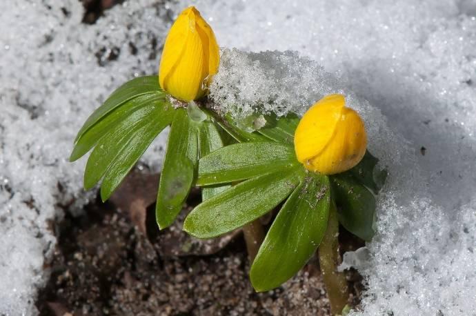 Rannik zimowy Eranthis hyemalis