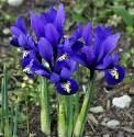 Kosaciec żyłkowany 'Rhapsody' Iris reticulata -5 szt.