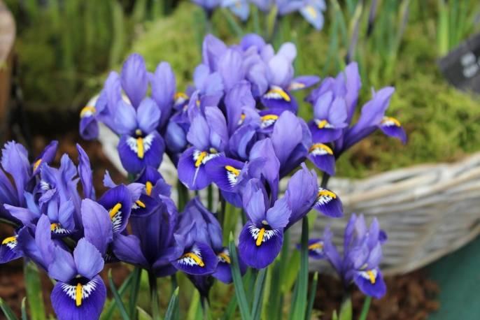 Kosaciec żyłkowany 'Rhapsody' Iris reticulata