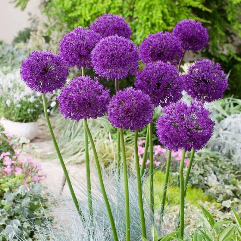 czosnek okaza y 39 purple sensation 39 allium alfatunense albamar. Black Bedroom Furniture Sets. Home Design Ideas