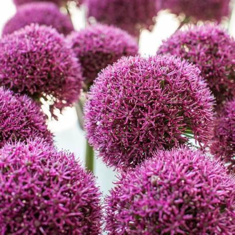 Czosnek ogrodowy 'Ostara' Allium 'Ostara'
