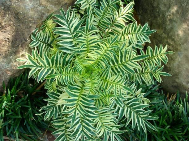 Pulmonaria 'Brise d'Anjou' Polemonium caerulem