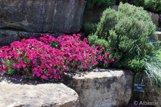 Żagwin ogrodowy 'Cascade Red' Aubrieta cultorum