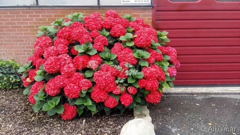 Hortensja Ogrodowa Red Baron Hydrangea Macrophylla Albamar