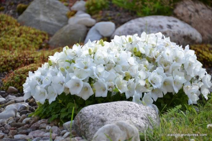 Dzwonek karpacki 'White Clips' Campanula carpatica