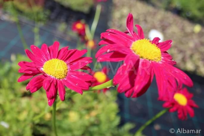 Złocień różowy 'Duro' Tanacetum coccineus
