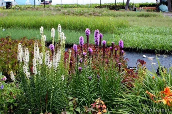 Liatra kłosowa 'Florstian White' Liatris spicata