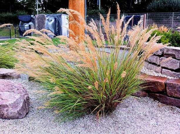 Chropatka trzcninnikowata Achnatherum calamagrostis