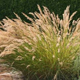Chropatka trzcinnikowata Achnatherum calamagrostis