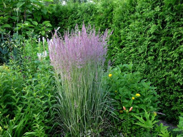 Trzcinnik ostrokwiatowy 'Overdam' Calamagrostis acutiflora